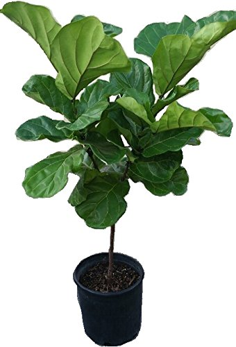 Fiddle Leaf Fig Tree Plant in 12'' Black Pot - About 54'' Tall - Ficus Lyrata Tree by EGGH