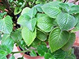 Cuban Oregano, (5 Live Plant) Indian Borage, Mexican Mint, Spanish Thyme