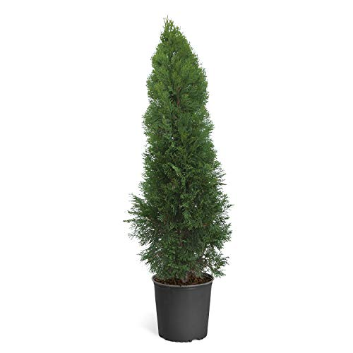 Emerald Green Arborvitae Evergreen Trees- Perfect for Privacy- Large, Developed Trees with Advanced Root Systems - 2-3 ft. | No Shipping to AZ (Trees Green Shade)