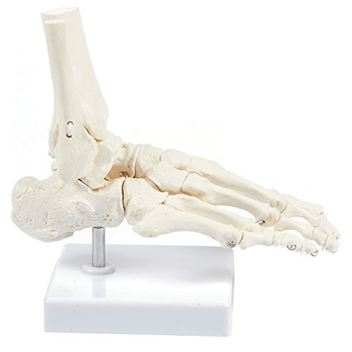 Human Foot Model on Base Stand, Articulating - Anatomical Model | White, 4.25 x 7 x 7.5 Inches