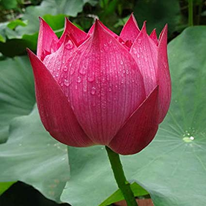 Green Gardens Lotus Flower Seeds Pond Plants Lotus Seeds Rose Red