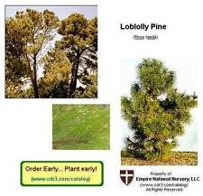 Set of 10 - Loblolly Pine Trees 8+in, Fast Growing Southern Pine, Ships Bareroot