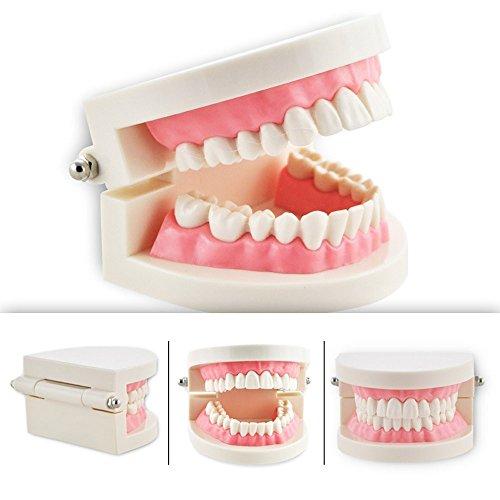 SeeFDENT Teaching Study Adult Standard Dental Typodont Demonstration Teeth Model
