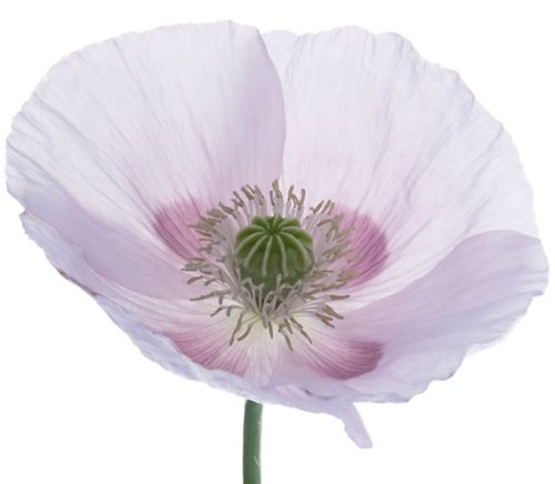 Papaver Somniferum Poppy Seeds - Earthcare Seeds Giant Poppy 250 Seeds (Papaver Somniferum Giganteum) Non GMO - Heirloom