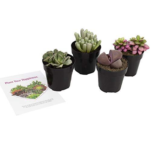 Altman Plants Assorted Live mini Mimicry Rock Succulents unique colorful lithops pleiospilos faucaria, 2.5, 4 Pack