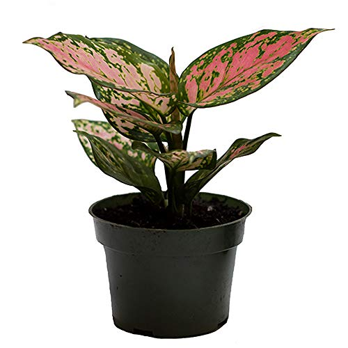 AMERICAN-PLANT-EXCHANGE-Aglaonema