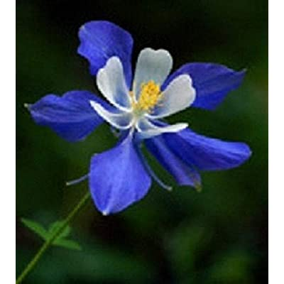 Organic 500 Columbine Colorado Blue Flower Seeds : Garden & Outdoor