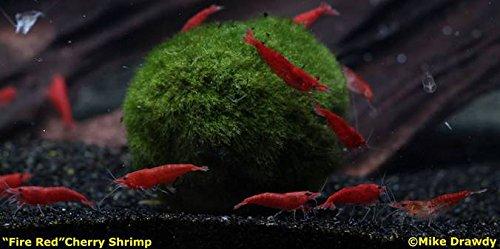 Shrimp Cherry - 12 Sakura Red Cherry Shrimp - Neocaridina Dwarf Live Tropical Shrimp