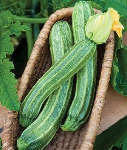 - Burpee Zucchini Italian Ribbed 54529 (Green) 10 Sees