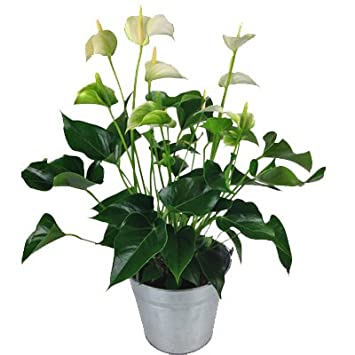 Anthurie Weiss Mit Topf Flamingoblume Buropflanze Amazon De Garten