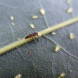 30 Stück Marienkäfer Larven - Nützling gegen Blattläuse - Biologischer Pflanzenschutz