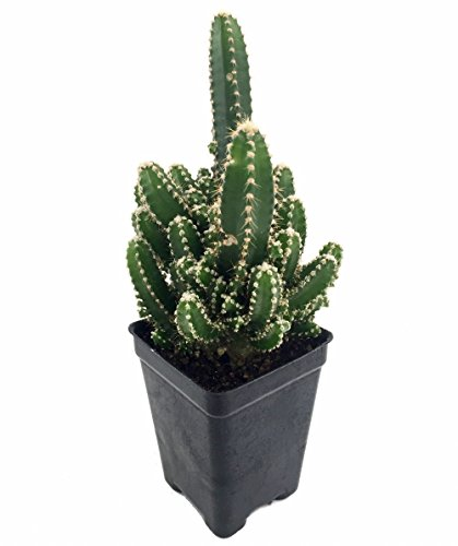 fairy-castle-cactus-cereus-houseplant-terrarium-fairy-garden-25-pot