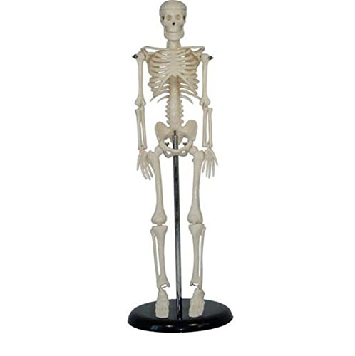 MLM Classic Human Skeleton with Study & Numbering Guide PVC Anatomical Human Skeleton Model Medical Poster Bonnet Stand 1/4 Life Size - Diagram Detailed The Ear Of