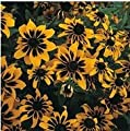 Rare flower,50pcs/lot Rudbeckia hirta Coneflower, Black-eyed Susan flower seed beautiful bonsai plant home garden free shipping