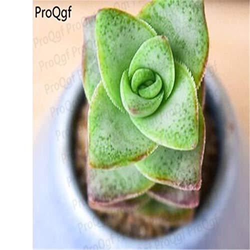 3Pcs A Set monanthous Plant Crassula Perforata - (Color: 3 Crassula Perforata) by Kasuki (Image #3)