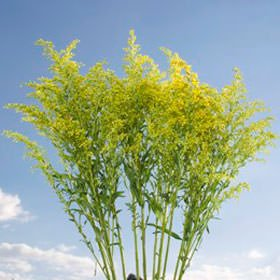 GlobalRose 120 Fresh Cut Aster Solidago Flowers - Fresh Flowers Wholesale Express Delivery by GlobalRose (Image #3)