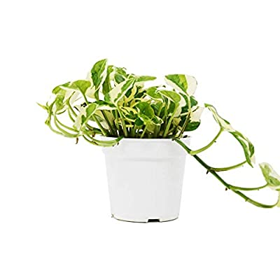 "Cheap Fresh Pothos N'Joy or 4"" Pot or Live Plant or Home and Garden Plants Get 1 Easy Grow #HPS01YN : Garden & Outdoor"