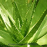 50Pcs High Quality Aloe Vera Seeds Rare Herbs Seeds Tree Seeds