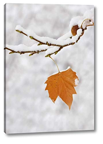 Lone Leaf clings to a Snowy Sycamore Tree Branch by Dennis Flaherty - 8