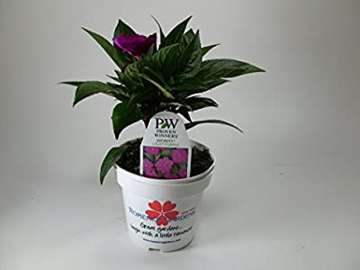 Romence Gardens Proven Winners New Guinea Impatiens 'Infinity Light Purple', Live Plant