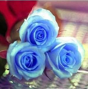 50 Pcs Blue Rose Bluelover Flower Seeds DIY Home Garden Dec by Messi&Q