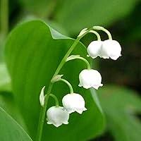 AGROBITS 100 semillas/paquete Semillas de flores de lirio de los valles Bell Orquídeas Semillas de flores de aromas bonsái ricos, tan lindos y hermosos: A2