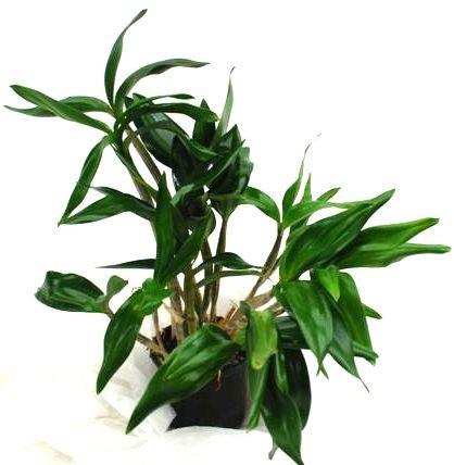 1 blühfähige Orchidee der Sorte: Dendrobium Silver Wings x johnsoniae, 13cm Topf