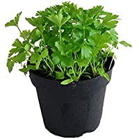 Planta de perejil liso, perejil liso, petroselinum crispum