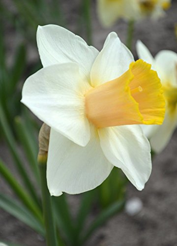 Narcissus Salome (10 Bulbs) Late to mid-Season Bloomer, -
