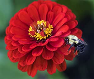 Annual: CHERRY QUEEN ZINNIA (30 Seeds) - Stunning Deep Red Blooms, Attracts Butterflies *Fresh Seed*