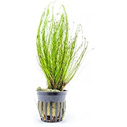 1 Potted Tall/Giant Hairgrass Plant (Eleocharis montevidensis) - 1 to 2 inch Wide Pots; Tall and Fast-growing! - Live Aquarium Plant by Aquatic Arts