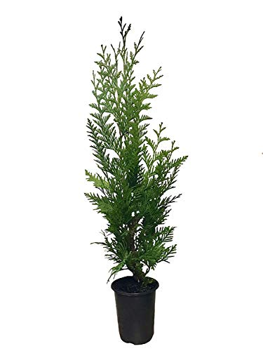 Thuja 'Green Giant' Arborvitae - 2 Feet Tall - Live Evergreen Privacy Tree