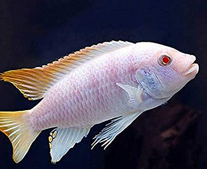 2 5 inch Albino Red Top Zebra African Cichlid - Live FishLow Cost Shipping  Available