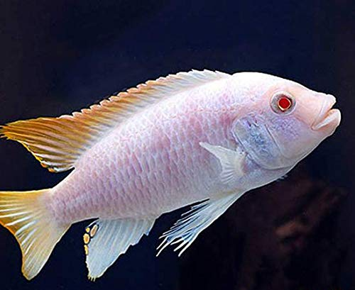 Cichlid Fish - 2.5 inch Albino Red Top Zebra African Cichlid - Live FishLow Cost Shipping Available