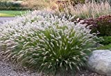3 Hamlen Grass in 4 Inch Containers/ Dwarf Fountain Grass (3 Pots of Plants)