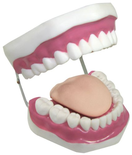 "Big Mouth Dental Modelo de Capacitación. 6 – 1/2 ""de ancho"