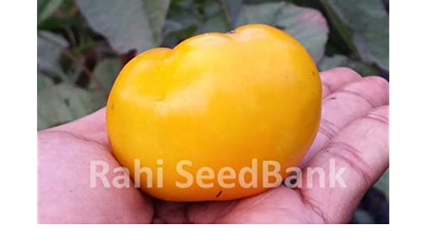 Yellow Grosse Lisse Tomato 10 Seeds!!!