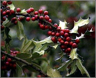 Pack of 1, 25 Lbs. Fragrance Oil Mulberry & Mistletoe Scent, Phthalate Free