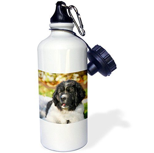 - 3dRose wb_93609_1 Oregon, Portland, Landseer Newfoundland Dog Puppy US38 BJA0528 Jaynes Gallery Sports Water Bottle, 21 oz, White