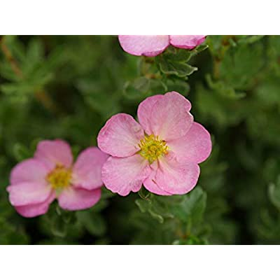 "AchmadAnam - 4"" Pot - Happy Face Hearts Potentilla - Proven Winners, Plant, Bush, Shrub : Garden & Outdoor"