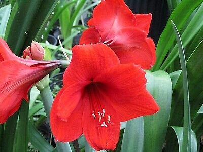 Set Amaryllis Red - A Bundle of 12 Amaryllis Off Set Bulbs Red Lion Hippeastrum Beauty Plant
