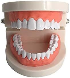 Kids Dental Teaching Study Supplies Adult Standard Typodont Demonstration Teeth Model