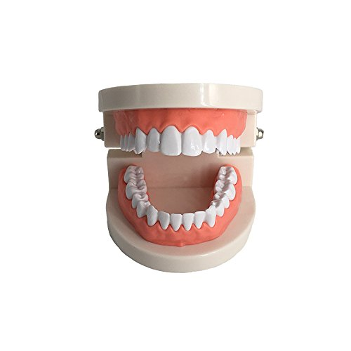 Kids Dental Teaching Study Supplies Adult Standard Typodont Demonstration Teeth (Teeth Demonstration Model)