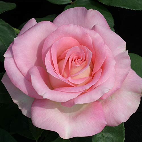 Own-Root One Gallon Falling in Love Hybrid Tea Rose by Heirloom Roses