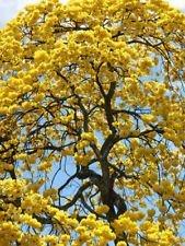 (TABEBUIA CARAIBA @ Exotic Yellow Flower Ornamental Flowering Tree Seed 100 Seeds)