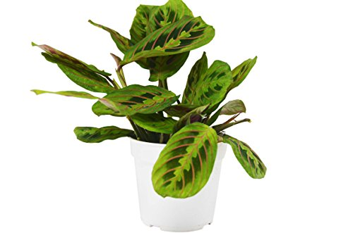 Red Prayer Plant 'Maranta' - Live House Plant - FREE Care Guide - 4