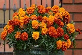 Fireball Flower 20 Seeds French Marigold