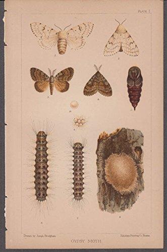 Gypsy Moth life cycle chromolithograph by Joseph Bridgham ca 1890s