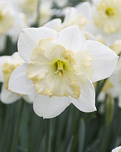Bulbi di Narciso CHANGING COLORS Giunchiglia bianca e gialla (BULBI DELLA MASSIMA DIMENSIONE) (10) Floriana Bulbose