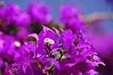 New 1 PCS Bougainvillea Royal Purple Bougainvillea Glabra Starter plant